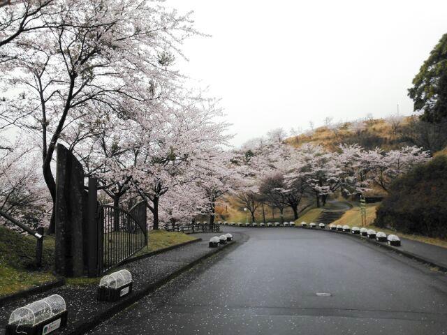 霧島神話の里公園の桜も見頃です。