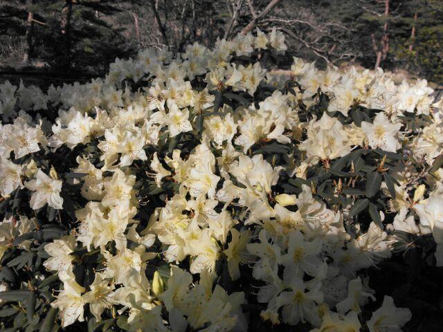 待ちに待った 「ノカイドウ」の花