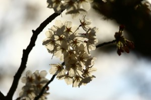 霧島春の輝き