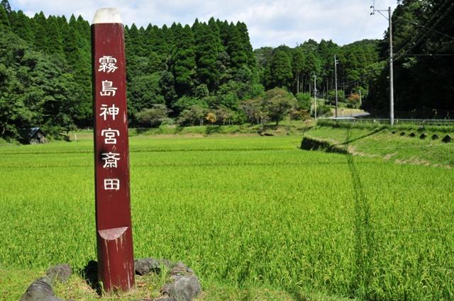 霧島神宮斎田の稲穂が実っています