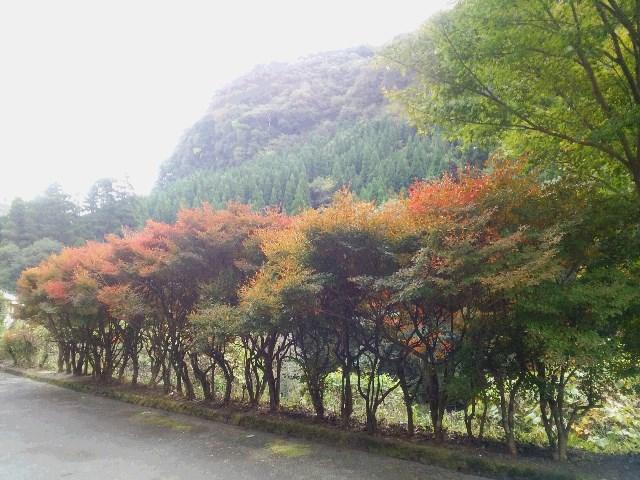 鹿児島神宮・安楽温泉郷周辺の紅葉情報2015.11.7現在