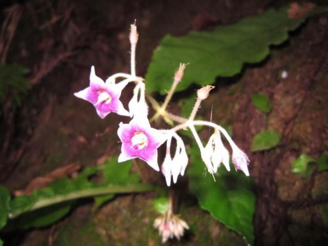 イワタバコの花