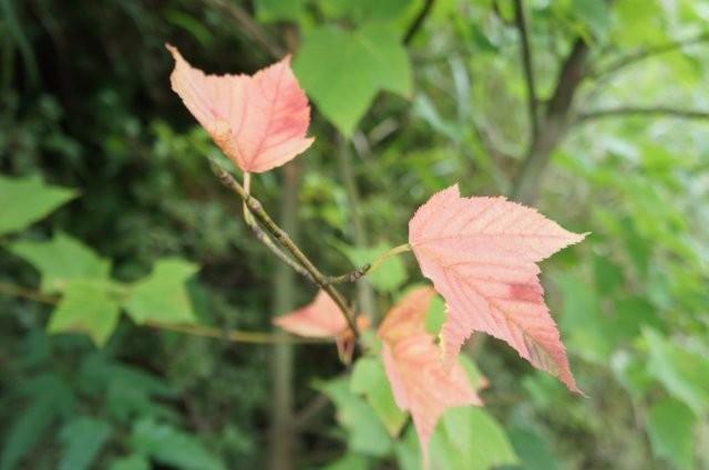 小さい秋見つけた!ウリハダカエデの紅葉