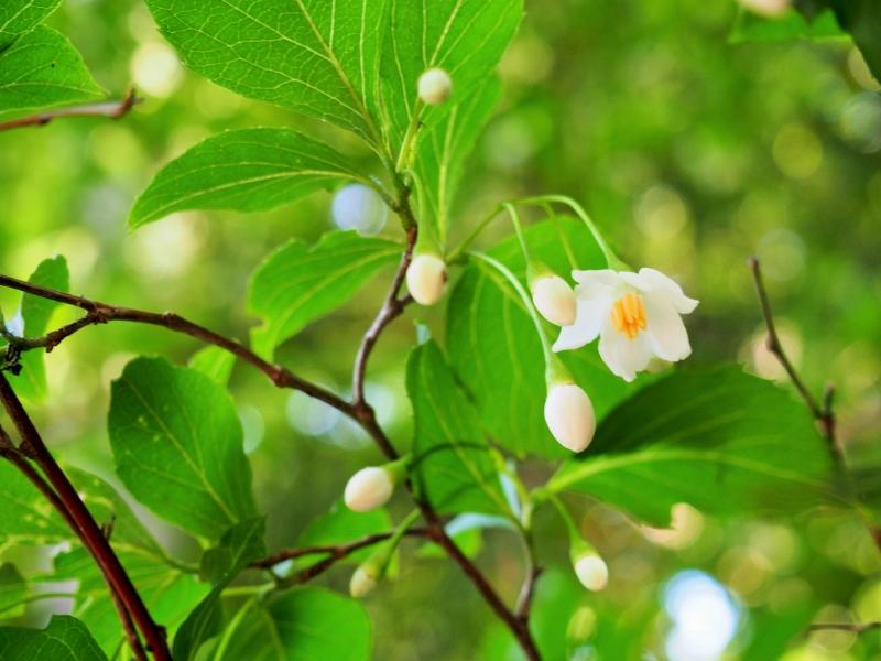 フタリシズカの花