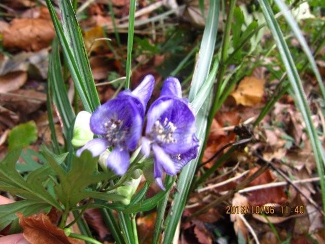 ハナヅルの花