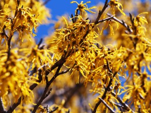 大浪池のマンサクの花
