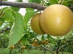 「梨の試食キャンペーン」のお知らせ