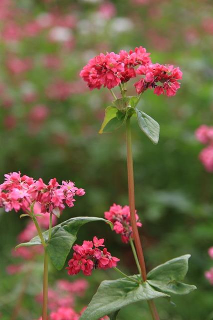 赤そばのお花が満開です