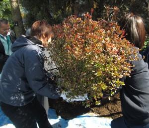 キリシマツツジの植樹