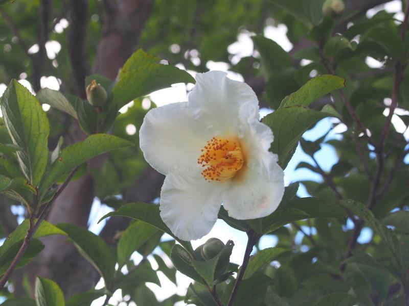 ナツツバキの花