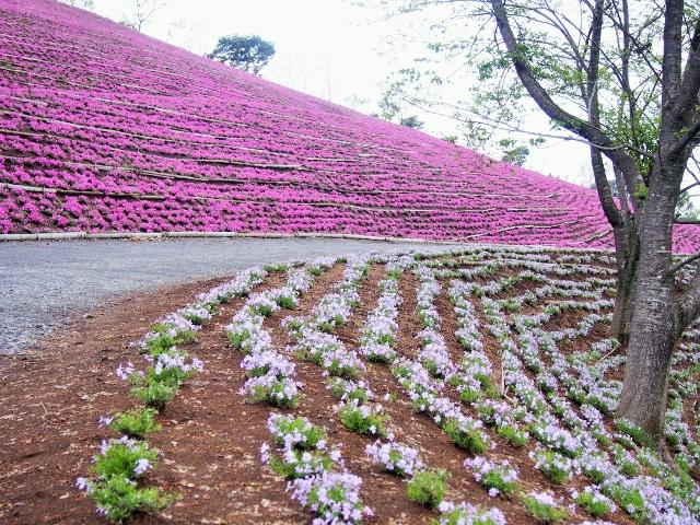 約25万株の芝桜が見ごろです☆