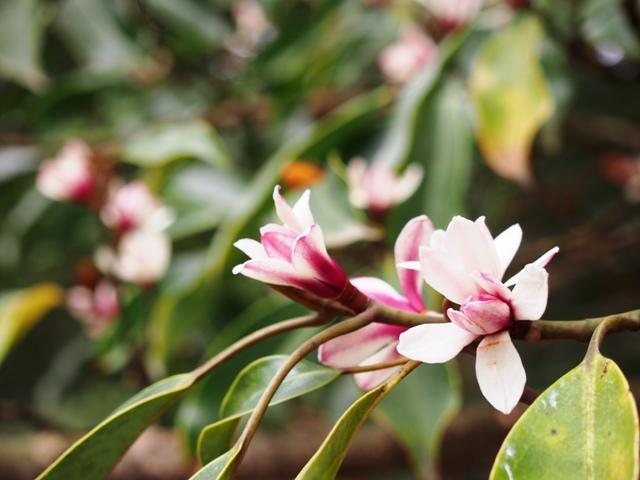 招霊木(オガタマノキ)の花が咲いていました