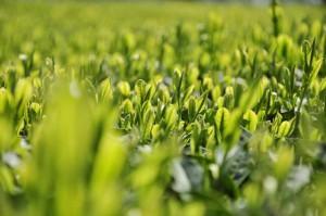 明日から霧島茶PRキャンペーンが始まります!