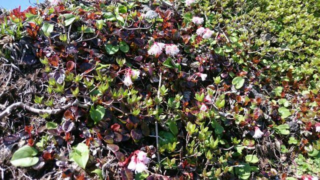 ミヤマキリシマの開花状況 5月14日現在