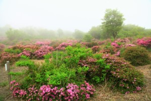 ミヤマキリシマの開花状況 中岳中腹探勝路 5月15日現在
