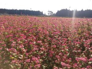 ✿赤そばの花✿