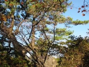 二期桜が咲きました