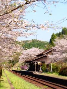 桜の開花状況 JR嘉例川駅 撮影:2017.4.13