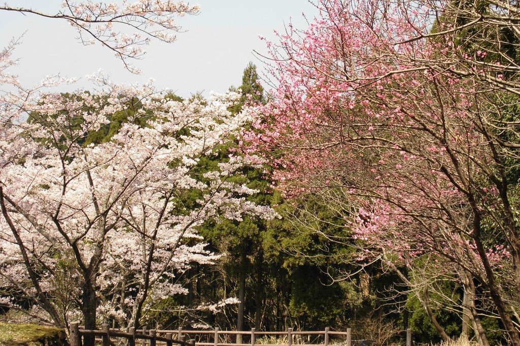 霧島市観光案内所 桜情報Part3