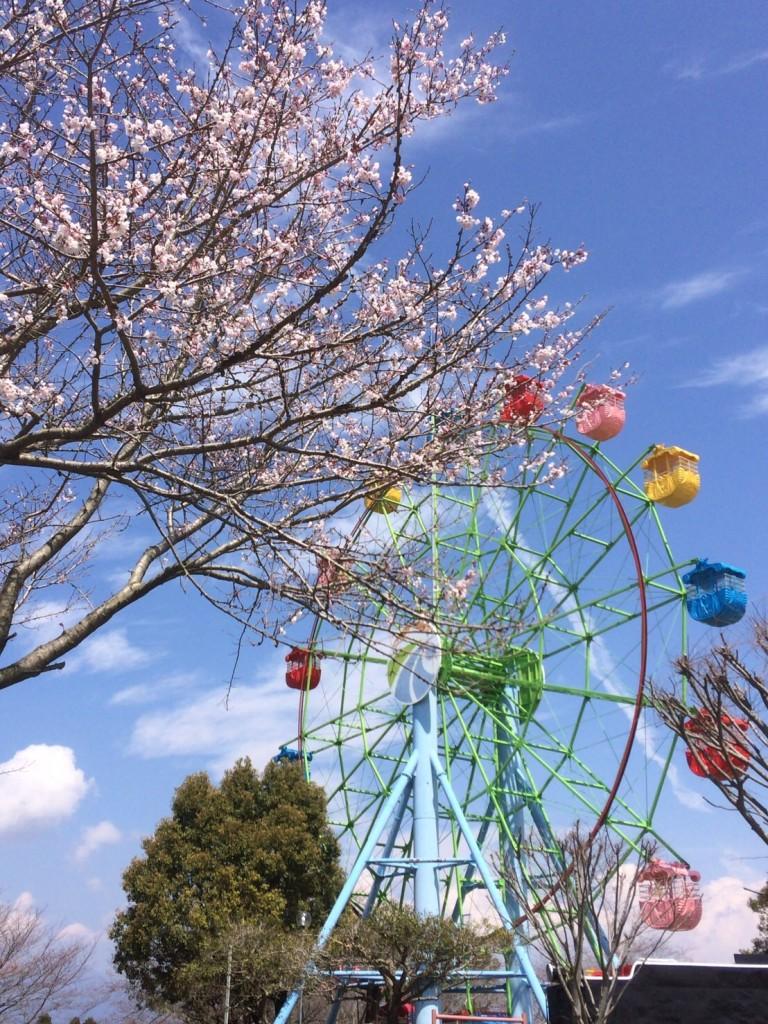 桜の開花状況 国分城山公園 2017.4.1