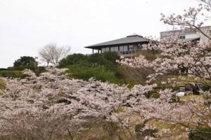 桜の開花状況 丸岡公園 撮影:2017.4.9