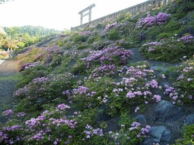 ミヤマキリシマの開花状況 2017.5.20撮影