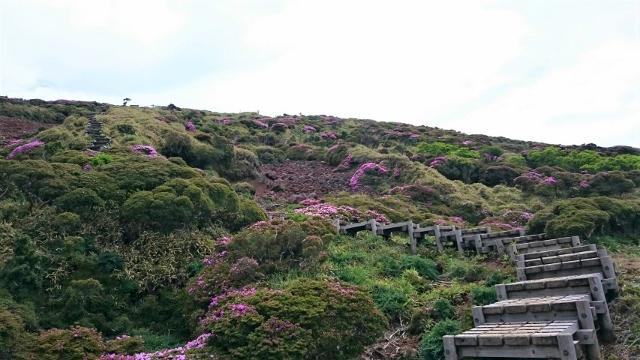 ミヤマキリシマの開花状況 2017.6.12撮影