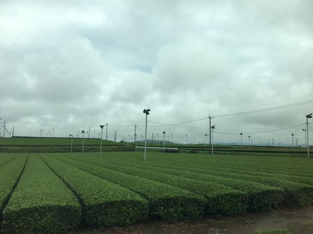 今日の茶畑🍂