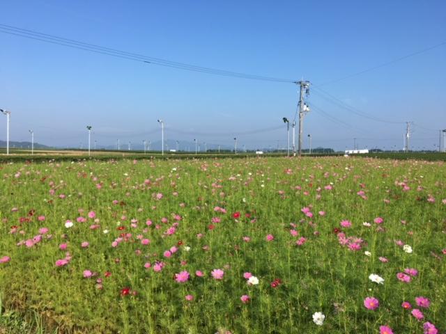 溝辺のコスモス畑🌸