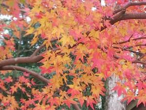 鹿児島神宮の紅葉🍁