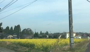 春の黄色い絨毯♪