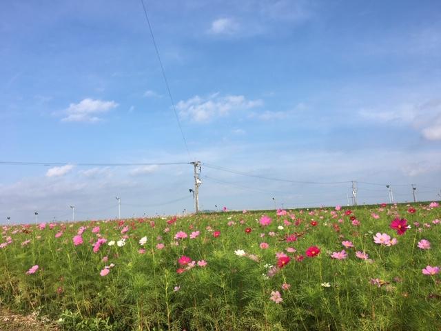 十三塚原のコスモス畑