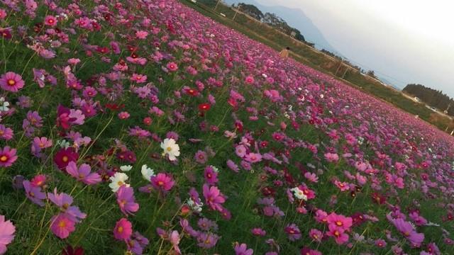 赤そばとコスモスのお花畑(鹿児島空港周辺エリア)撮影2018,10,24