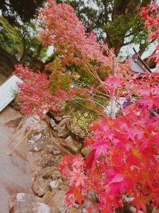 鹿児島神宮より🍁
