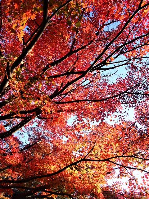 紅葉状況(新川渓谷~霧島温泉郷~霧島神宮周辺)撮影2018,11,10