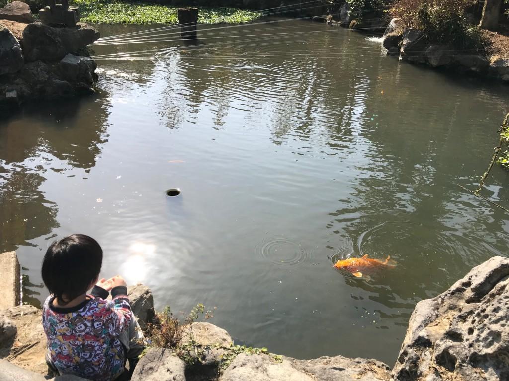鯉もゆうがに >゜))彡