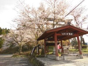 桜がほぼ満開になりました。