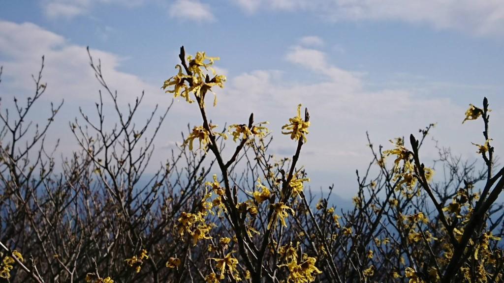 マンサクの花が咲いています