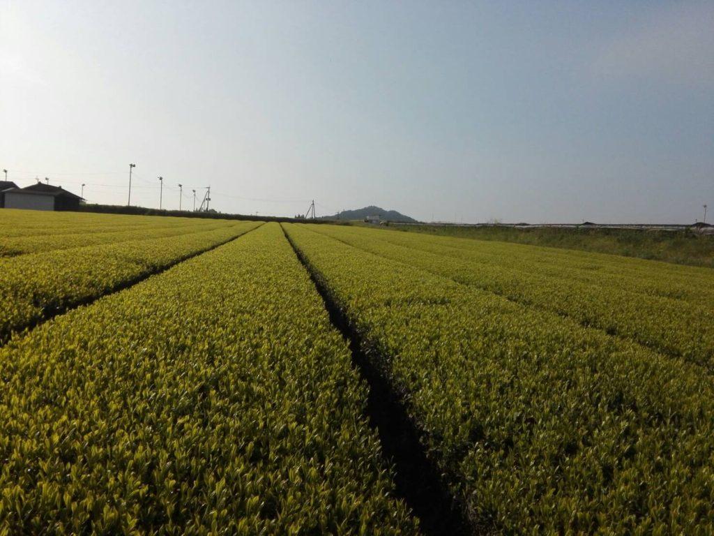 新茶の季節(`・ω・´)