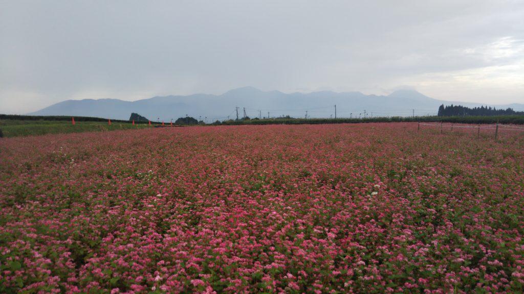 赤そばの花・コスモス✿見頃です(*^-^*)