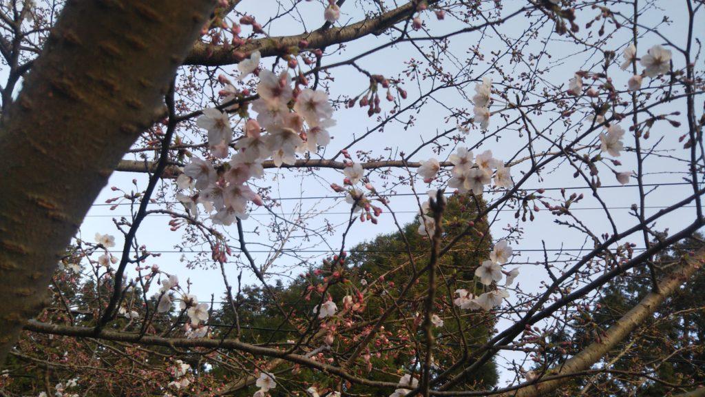 桜の開花状況パネルを設置しました!
