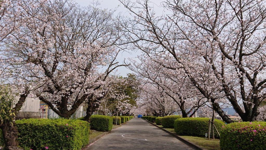 桜が満開です🌸