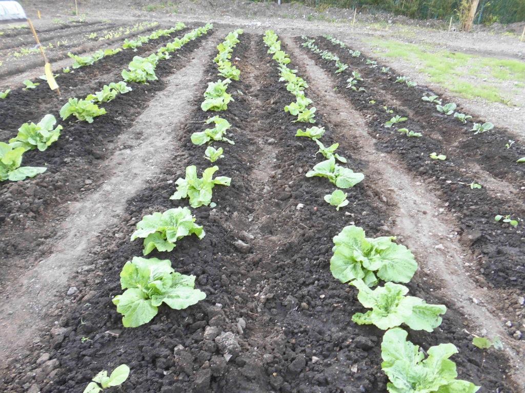 Kirishima Community Garden Projectの白菜・キャベツの成長してます。