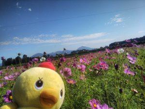 十三塚原公園横コスモス畑(2020.10.20)