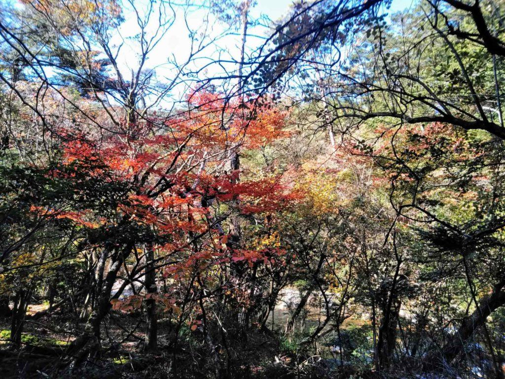 紅葉情報(みやま荘~新湯三叉路)