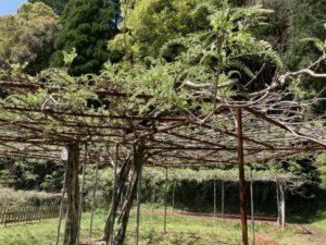 和気公園の藤の花 開花情報