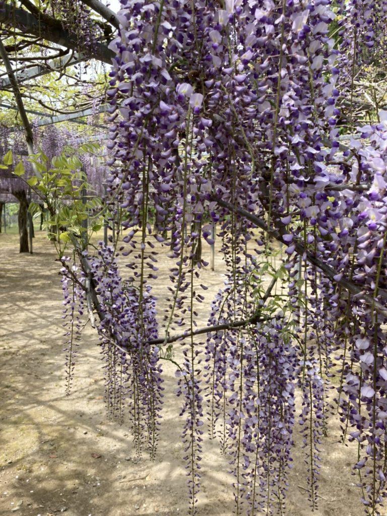 和気公園の藤の花 開花情報②