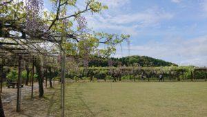 和気公園の藤の花 開花情報③