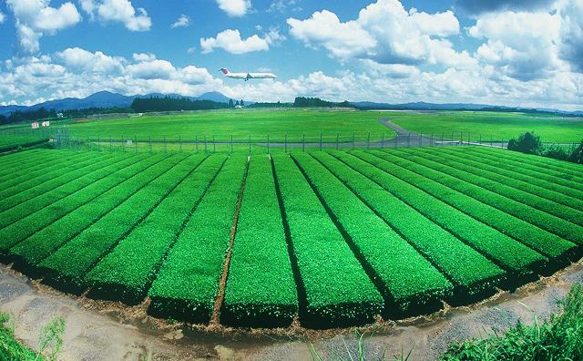 Kirishima Tea