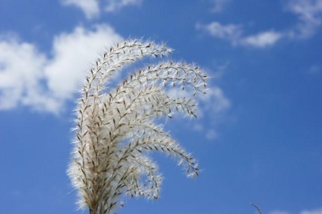 秋の花「ススキ」